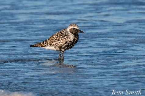 Black-bellied Plover GHB Gloucester MA copyright Kim Smith - 04