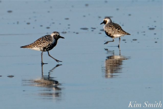 Black-bellied Plover GHB Gloucester MA copyright Kim Smith - 07