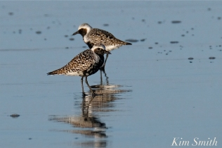 Black-bellied Plover GHB Gloucester MA copyright Kim Smith - 08