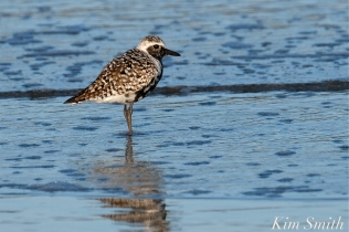 Black-bellied Plover GHB Gloucester MA copyright Kim Smith - 09