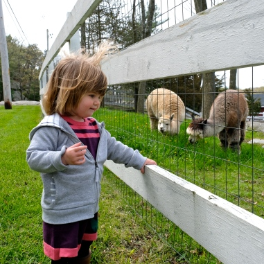 Charlotte Angies Alpacas -3 copyright Kim Smith