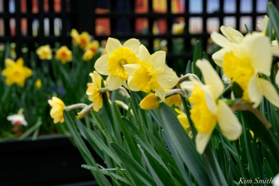 Daffodils Kendall Hotel Cambridge Massachusetts copyright Kim Smith - 03