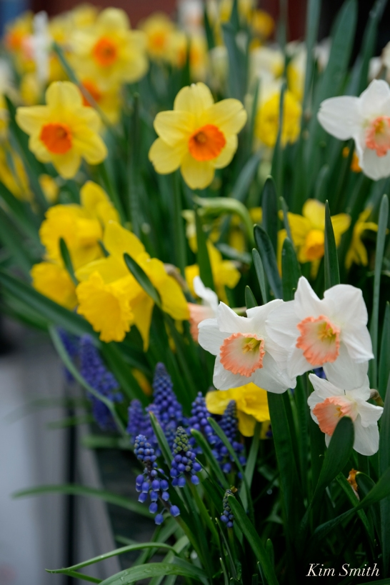 Daffodils Kendall Hotel Cambridge Massachusetts copyright Kim Smith - 05