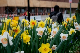 Daffodils Kendall Hotel Cambridge Massachusetts copyright Kim Smith - 07