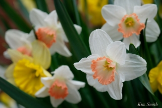 Daffodils Kendall Hotel Cambridge Massachusetts copyright Kim Smith - 10