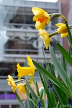 Daffodils Kendall Hotel Cambridge Massachusetts copyright Kim Smith - 12