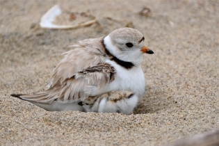 Hours-old Piping Plover Chicks copyright Kim Smith - 02