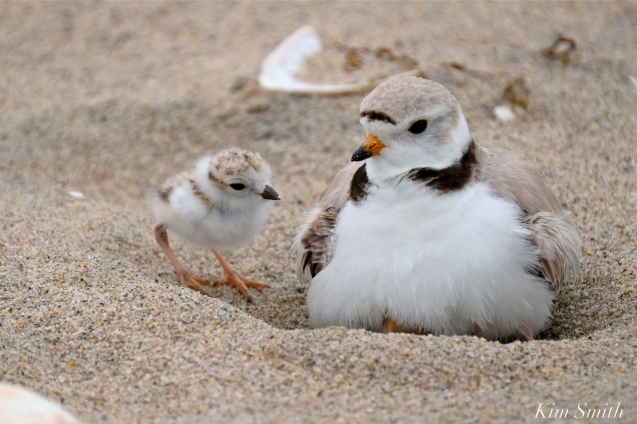 Hours-old Piping Plover Chicks copyright Kim Smith - 06