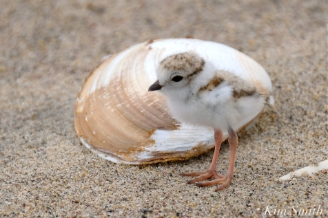 Hours-old Piping Plover Chicks copyright Kim Smith - 07