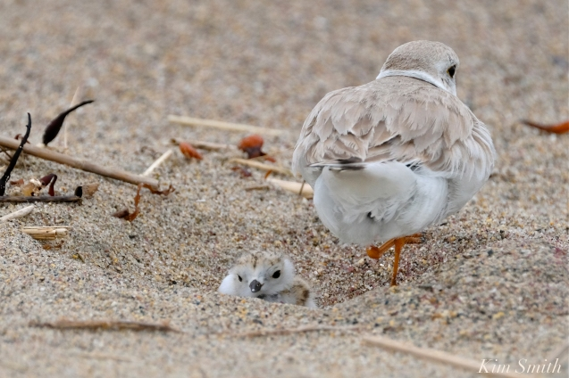 Hours-old Piping Plover Chicks copyright Kim Smith - 13