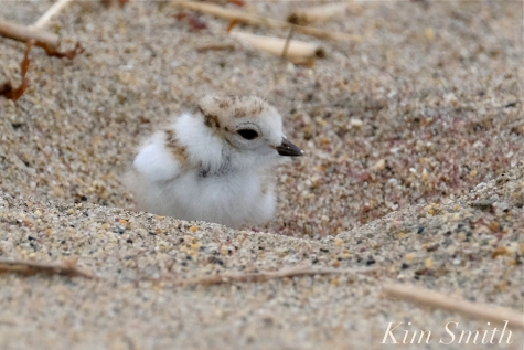 Hours-old Piping Plover Chicks copyright Kim Smith - 14