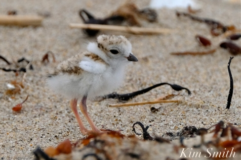 Hours-old Piping Plover Chicks copyright Kim Smith - 15