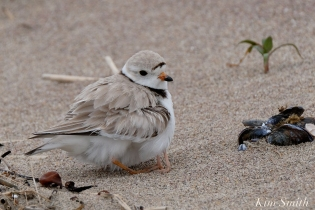Hours-old Piping Plover Chicks Female copyright Kim Smith - 01