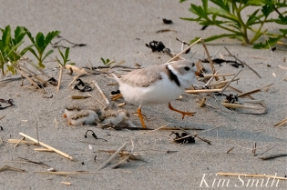 Hours-old Piping Plover Chicks Gloucester MA copyright Kim Smith - 02