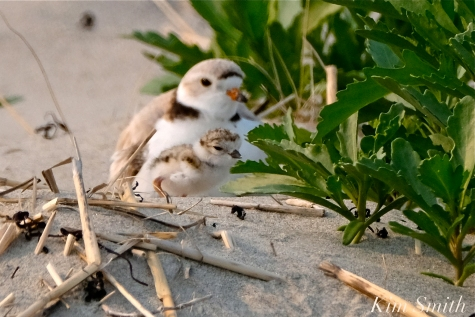 Hours-old Piping Plover Chicks Gloucester MA copyright Kim Smith - 05 copy