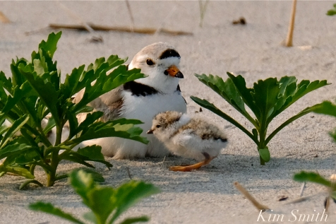 Hours-old Piping Plover Chicks Gloucester MA copyright Kim Smith - 07