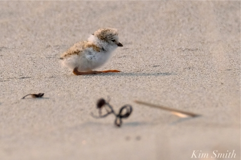 Hours-old Piping Plover Chicks Gloucester MA copyright Kim Smith - 08