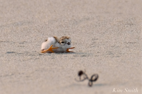 Hours-old Piping Plover Chicks Gloucester MA copyright Kim Smith - 13