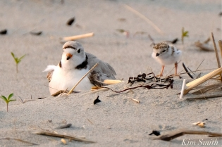 Hours-old Piping Plover Chicks Gloucester MA copyright Kim Smith - 19