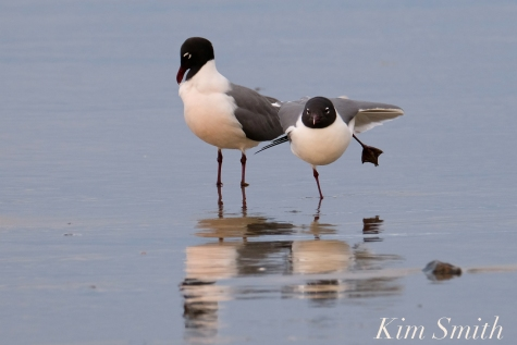 Laughing Gull Good Harbor Beach copyright Kim Smith - 03
