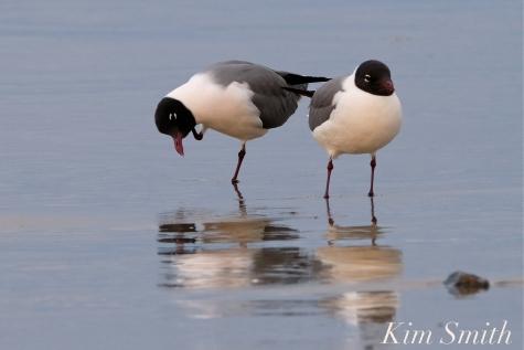 Laughing Gull Good Harbor Beach copyright Kim Smith - 04