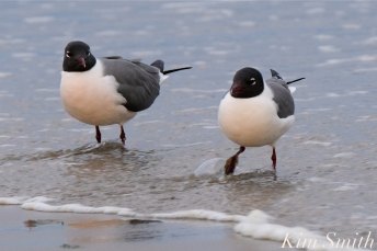 Laughing Gull Good Harbor Beach copyright Kim Smith - 06