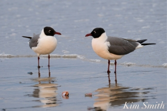 Laughing Gull Good Harbor Beach copyright Kim Smith - 07