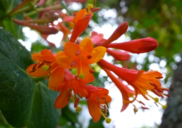lonicera-sempervirens-dropmore-scarlet-cppyright Kim Smith