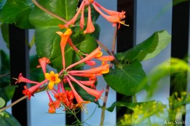native-honeysuckle-dropmore-scarlet-lonicera-sempervirens-copyright-kim-smith
