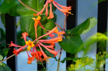 native-honeysuckle-dropmore-scarlet-lonicera-sempervirens-copyright-kim-smith
