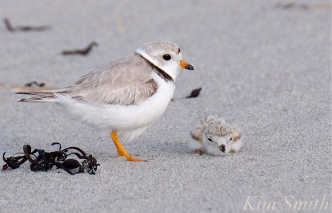 piping-plover-12-day-old-chick-good-harbor-beach-gloucester-ma-4-copyright-kim-smith