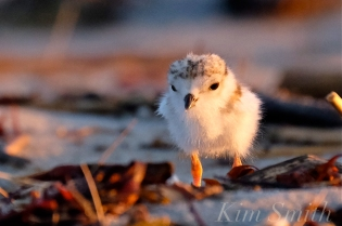 piping-plover-chick-good-harbor-beach-gloucester-ma-copyright-kim-smith