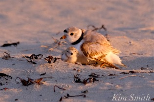 piping-plover-chick-seven-days-old-and-male-plover-2-copyright-kim-smith