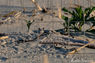 Piping Plover Eggs Good Harbor beach copyright Kim Smith
