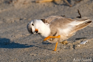 Piping Plover Female tiny tongue Good Harbor beach copyright Kim Smith