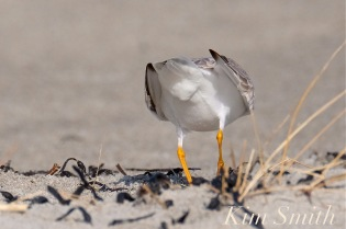 piping-plover-male-cloaca-breeding-courtship-good-harbor-beach-gloucester-ma-copyright-kim-smith