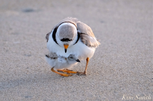 piping-plover-male-eight-day-old-chick-copyright-kim-smith