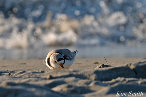 Piping Plover male foraging Good Harbor beach copyright Kim Smith