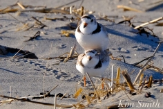 piping-plover-mated-pair-good-harbor-gloucester-massachusetts-copyright-kim-smith-