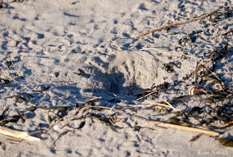 piping-plover-nest-scrape-copyright-kim-smith