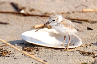 piping-plover-on-the-half-shell-copyright-kim-smith-1