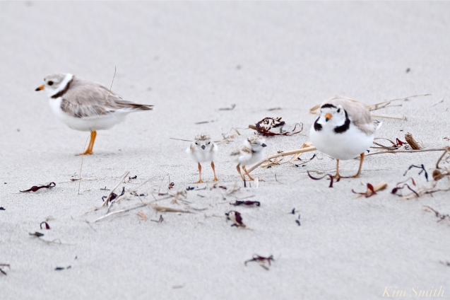 piping-plovers-4-day-old-chicks-good-harbor-beach-gloucester-ma-copyright-kim-smith