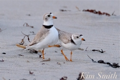 piping-plovers-courting-good-harbor-beach-copyright-kim-smith