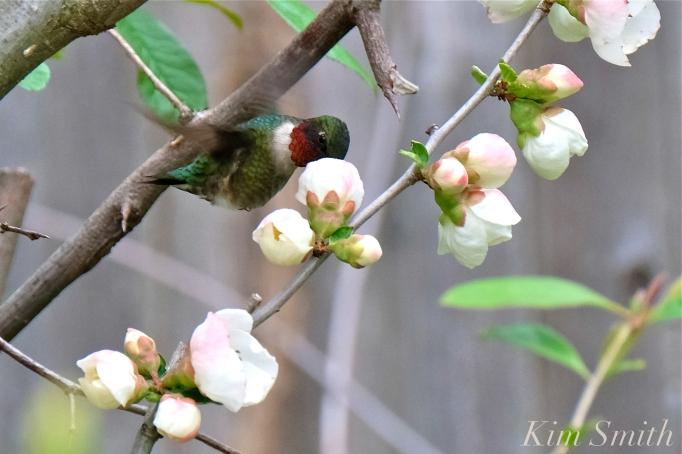 Ruby-throated Hummingbird Male Gloucester MA -12 copyright Kim Smith