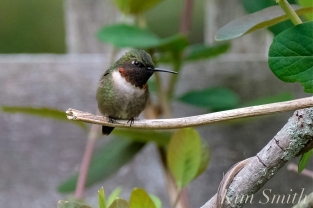 Ruby-throated Hummingbird Male Gloucester MA -4 copyright Kim Smith