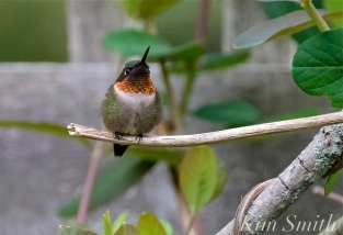 Ruby-throated Hummingbird Male Gloucester MA -7 copyright Kim Smith