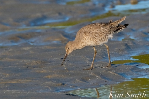 Willet Good Harbor Beach Gloucester MA -2 copyright Kim Smith