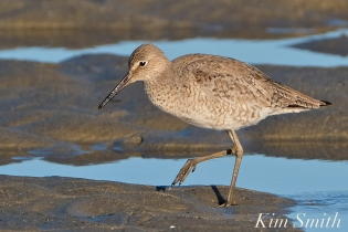 Willet Good Harbor Beach Gloucester MA -5 copyright Kim Smith