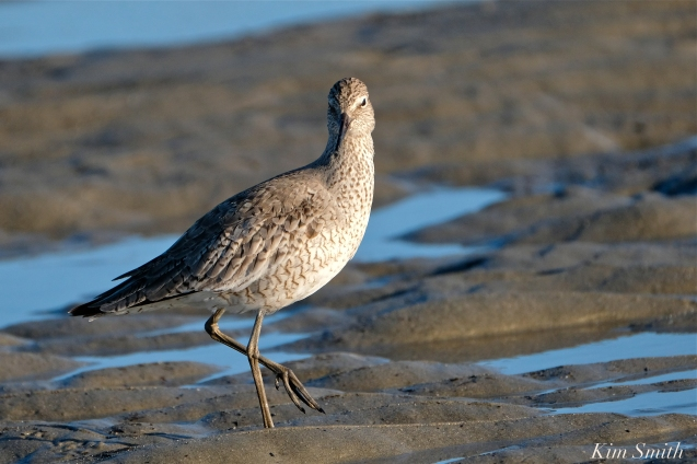 Willet Good Harbor Beach Gloucester MA -6 copyright Kim Smith