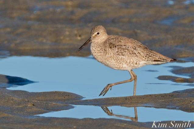 Willet Good Harbor Beach Gloucester MA -9 copyright Kim Smith